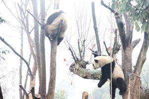 パンダってアクロバティックに木に登るんですね!